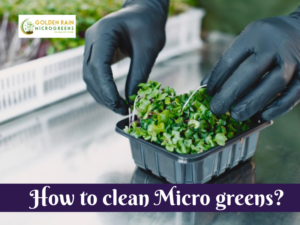 How to clean Micro greens?